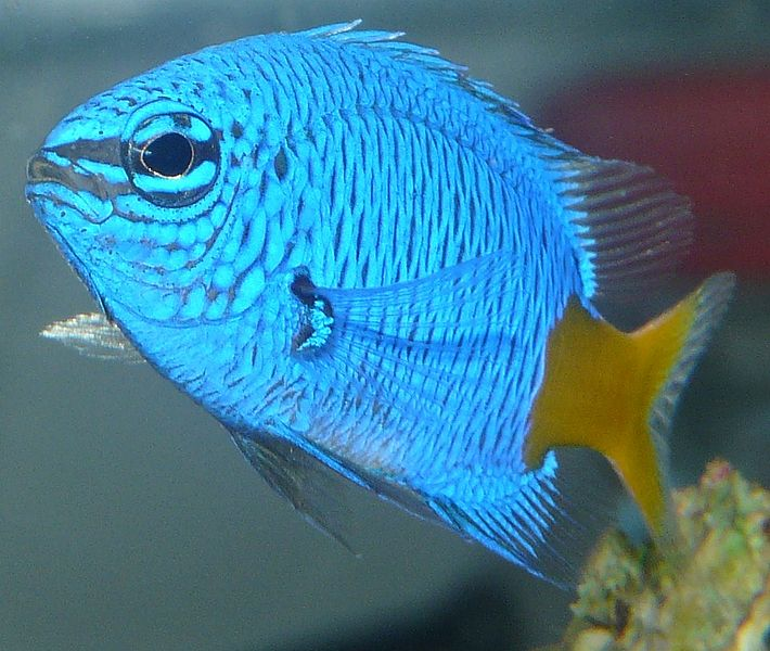yellowtaildamselfish