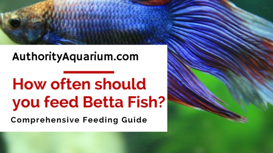 How often should you feed a betta fish authority aquarium for How much are betta fish
