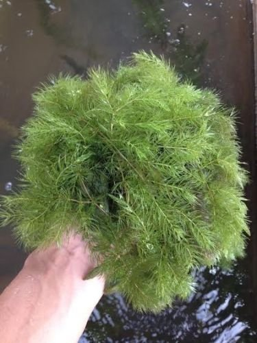 Hornwort (Ceratophyllum demersum) Great for Outdoor Ponds, Water Features, and Even Freshwater Aquariums (1lb)