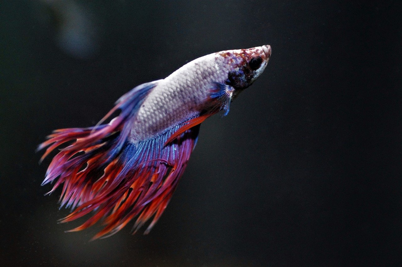 how often should you feed a betta
