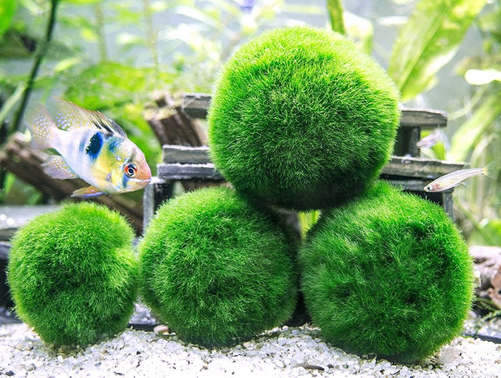 marimo moss ball for betta fish