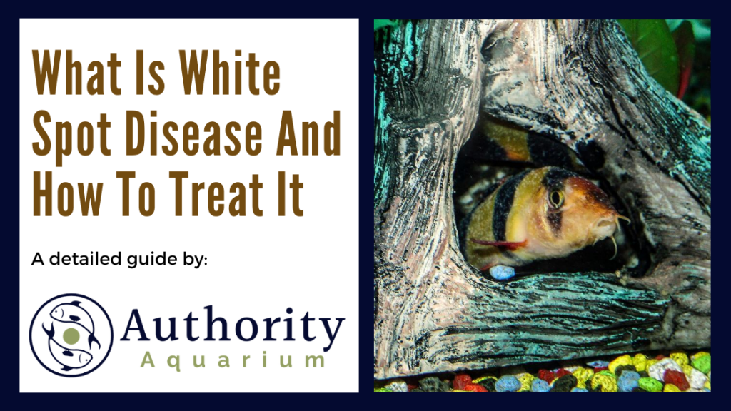 What Is White Spot Disease And How To Treat It