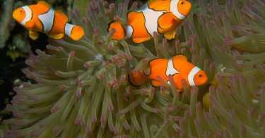 Breeding Clownfish