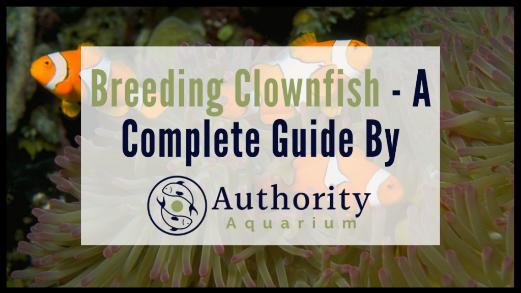 Breeding Clownfish A Complete Guide
