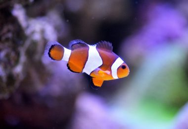 Captive Bred Clownfish
