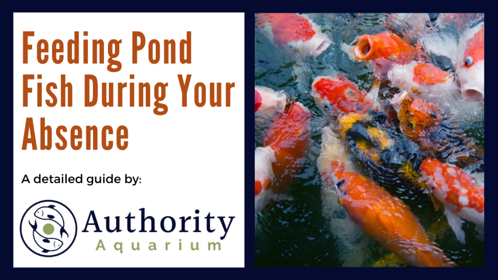 Feeding Pond Fish During Your Absence