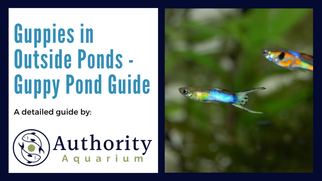 Guppies in Outside Ponds - Guppy Pond Guide
