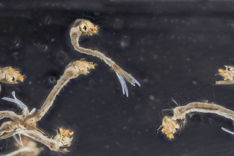 Mosquito Larvae live food for guppy care