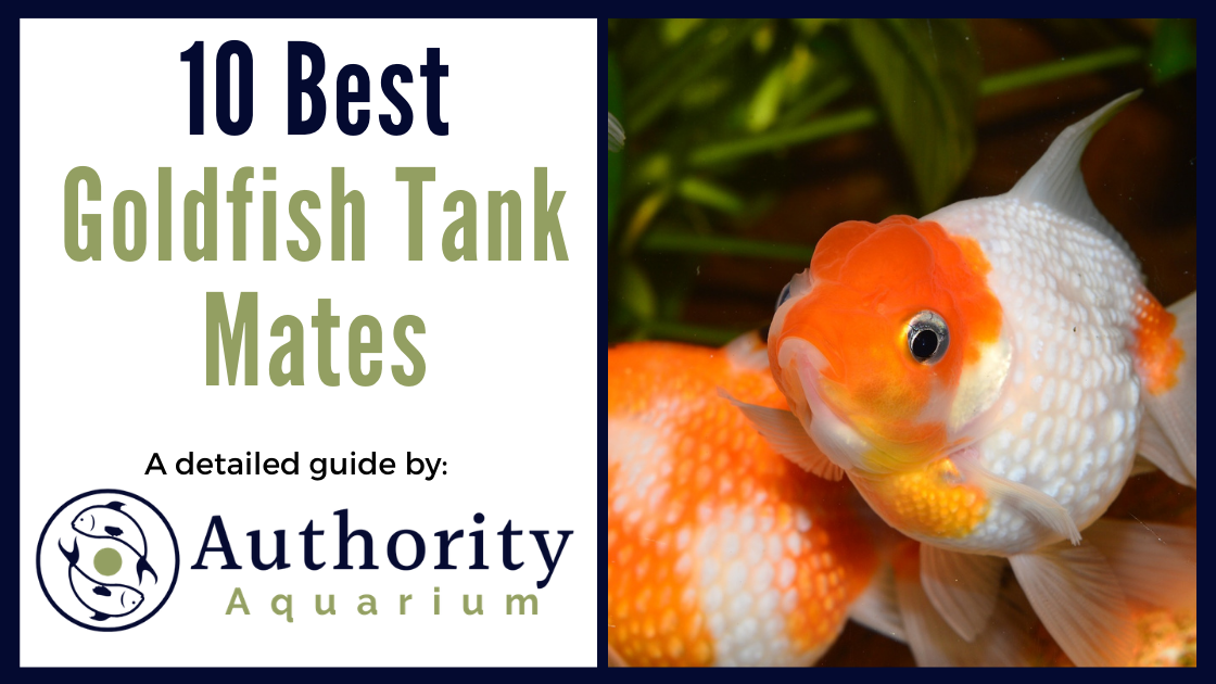 10 Best Goldfish Tank Mates