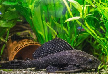 Plecostomus Care Guide